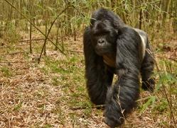 mountain-gorilla-rwanda-3138-copyright-photographers-on-safari-com