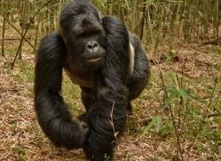mountain-gorilla-rwanda-3139-copyright-photographers-on-safari-com