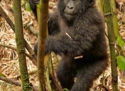 mountain-gorilla-rwanda-3140-copyright-photographers-on-safari-com