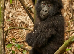 mountain-gorilla-rwanda-3141-copyright-photographers-on-safari-com