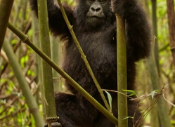 mountain-gorilla-rwanda-3143-copyright-photographers-on-safari-com