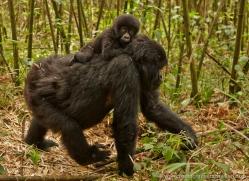 mountain-gorilla-rwanda-3145-copyright-photographers-on-safari-com