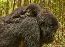 mountain-gorilla-rwanda-3146-copyright-photographers-on-safari-com