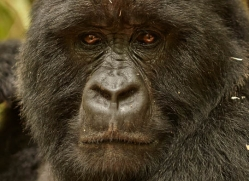 mountain-gorilla-rwanda-3147-copyright-photographers-on-safari-com