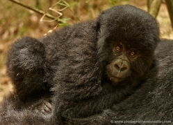 mountain-gorilla-rwanda-3148-copyright-photographers-on-safari-com
