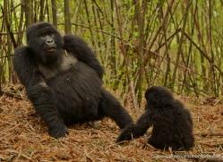 mountain-gorilla-rwanda-3149-copyright-photographers-on-safari-com