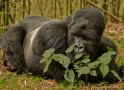 mountain-gorilla-rwanda-3150-copyright-photographers-on-safari-com