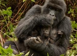mountain-gorilla-rwanda-3151-copyright-photographers-on-safari-com