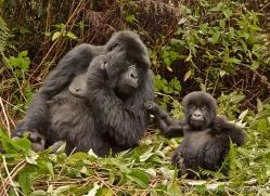 mountain-gorilla-rwanda-3154-copyright-photographers-on-safari-com