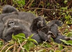 mountain-gorilla-rwanda-3158-copyright-photographers-on-safari-com