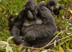 mountain-gorilla-rwanda-3160-copyright-photographers-on-safari-com