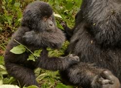 mountain-gorilla-rwanda-3161-copyright-photographers-on-safari-com