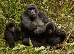 mountain-gorilla-rwanda-3164-copyright-photographers-on-safari-com