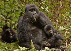 mountain-gorilla-rwanda-3166-copyright-photographers-on-safari-com