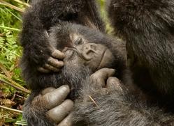 mountain-gorilla-rwanda-3169-copyright-photographers-on-safari-com