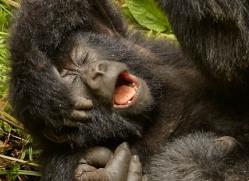 mountain-gorilla-rwanda-3170-copyright-photographers-on-safari-com