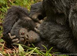 mountain-gorilla-rwanda-3172-copyright-photographers-on-safari-com