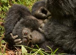 mountain-gorilla-rwanda-3174-copyright-photographers-on-safari-com