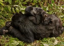 mountain-gorilla-rwanda-3175-copyright-photographers-on-safari-com
