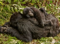 mountain-gorilla-rwanda-3176-copyright-photographers-on-safari-com
