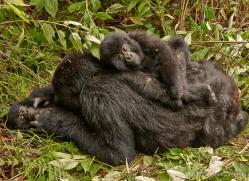mountain-gorilla-rwanda-3177-copyright-photographers-on-safari-com