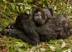 mountain-gorilla-rwanda-3178-copyright-photographers-on-safari-com