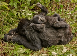 mountain-gorilla-rwanda-3179-copyright-photographers-on-safari-com