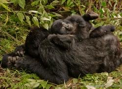 mountain-gorilla-rwanda-3180-copyright-photographers-on-safari-com