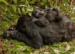 mountain-gorilla-rwanda-3181-copyright-photographers-on-safari-com