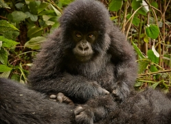 mountain-gorilla-rwanda-3183-copyright-photographers-on-safari-com