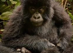 mountain-gorilla-rwanda-3184-copyright-photographers-on-safari-com