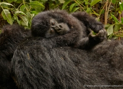 mountain-gorilla-rwanda-3186-copyright-photographers-on-safari-com