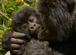 mountain-gorilla-rwanda-3187-copyright-photographers-on-safari-com
