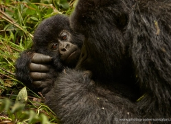 mountain-gorilla-rwanda-3188-copyright-photographers-on-safari-com