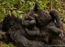 mountain-gorilla-rwanda-3192-copyright-photographers-on-safari-com