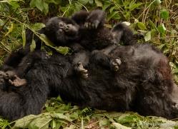 mountain-gorilla-rwanda-3193-copyright-photographers-on-safari-com
