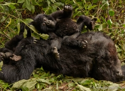 mountain-gorilla-rwanda-3194-copyright-photographers-on-safari-com