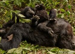 mountain-gorilla-rwanda-3195-copyright-photographers-on-safari-com