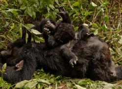 mountain-gorilla-rwanda-3196-copyright-photographers-on-safari-com
