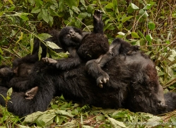 mountain-gorilla-rwanda-3197-copyright-photographers-on-safari-com