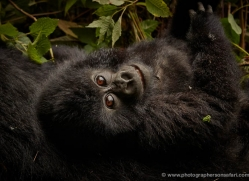 mountain-gorilla-rwanda-3199-copyright-photographers-on-safari-com