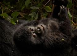 mountain-gorilla-rwanda-3200-copyright-photographers-on-safari-com
