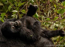 mountain-gorilla-rwanda-3202-copyright-photographers-on-safari-com