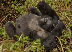 mountain-gorilla-rwanda-3203-copyright-photographers-on-safari-com