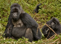 mountain-gorilla-rwanda-3204-copyright-photographers-on-safari-com