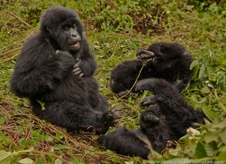 mountain-gorilla-rwanda-3206-copyright-photographers-on-safari-com