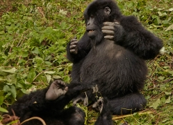 mountain-gorilla-rwanda-3208-copyright-photographers-on-safari-com