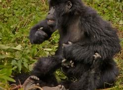mountain-gorilla-rwanda-3209-copyright-photographers-on-safari-com