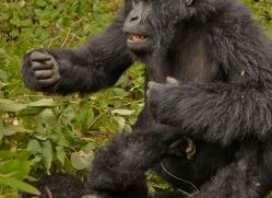 mountain-gorilla-rwanda-3210-copyright-photographers-on-safari-com