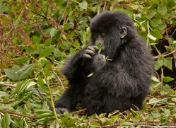 mountain-gorilla-rwanda-3212-copyright-photographers-on-safari-com